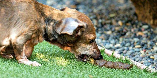 Hund frisst Kot - Koprophagie
