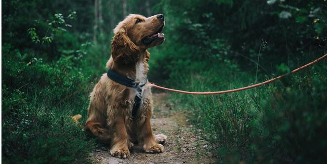 Hund zieht an der Leine - Leinenführigkeit trainieren