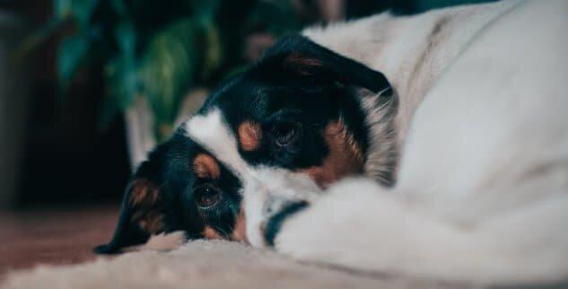 Mein Hund hat Diabetes - Was kann ich dagegen tun?