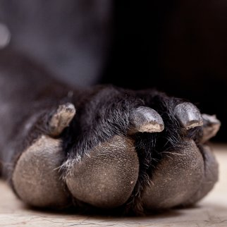 Hund leckt Pfoten wegen Hautpilz