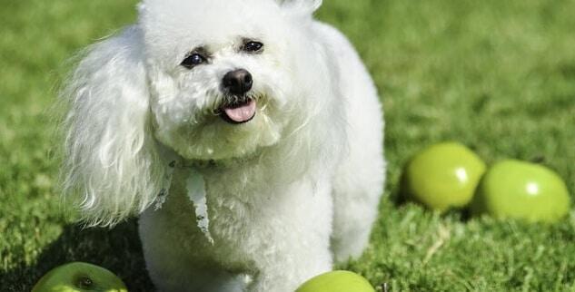 Darf ein Hunde-Welpe Apfel essen?