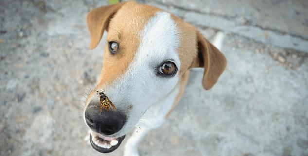 Mein Hund wurde von einer Wespe gestochen - Hilfe und Hausmittel