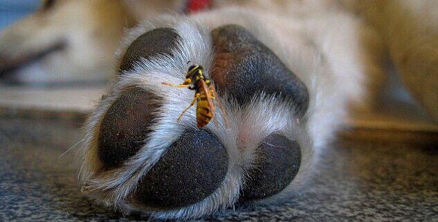 Hund wurde von Wespe in die Pfote gestochen